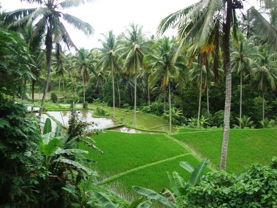 7.1295796891.rice-paddies